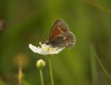 Starrgräsfjäril (Coenonympha tullia)
