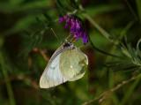Svavelgul höfjäril (Colias palaeno)