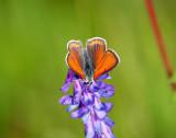 Violettkantad guldvinge (Lycaena hippothoe)male