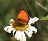 Vitfläckig guldvinge (Lycaena virgaureae)male