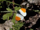 Aurorafjäril (Anthocharis cardamines)male