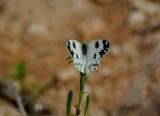 Grönfläckig vitfjäril (Pontia daplidice)Sicily