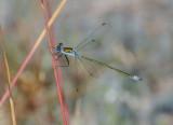 Pudrad smaragdflickslända (Lestes sponsa)