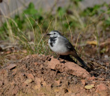 White wagtail Notice the right leg.