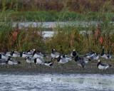 Red-brested goose