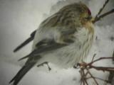 Artic redpoll (Cardeulis hornemanni)Dalarna