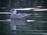 Iceland gull(Larus glaucoides)Västergötland