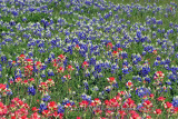 Bluebonnets Paintbrush