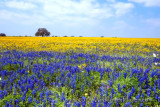 Bluebonnets and Grounsel