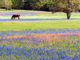 Grazing in the Bluebonnets