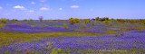 Bluebonnet Meadow Pano