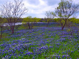 Bluebonnet Field by Pond