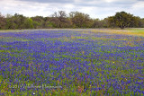 Bluebonnet Meadow 1
