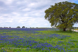 Bluebonnet Meadow Oak