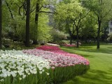 398 408 cp tulips.JPG