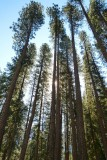734 1 Yosemite Valley Trees.jpg