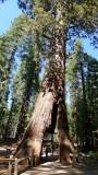 754 2 Yosemite Mariposa Grove California Tree.jpg
