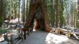 755 1 Mariposa Grove California Tree.jpg