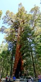 755 2 Yosemite Mariposa Grove Giant Grizzly.jpg