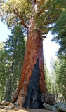 756 2 Yosemite Mariposa Grove Grizzly Giant.jpg