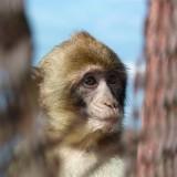 1616 Gibraltar monkeys.jpg