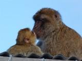 1618 Gibraltar monkeys.jpg