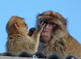 1619 Gibraltar monkeys.jpg