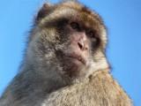 1620 Gibraltar monkeys.JPG