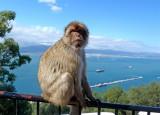 1622 Gibraltar monkeys.jpg