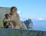 1628 Gibraltar monkeys.jpg