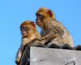 1641 Gibraltar monkeys.jpg