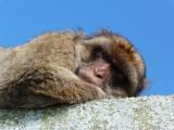 1644 Gibraltar monkeys.JPG
