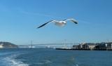 421 Seagull in SF Bay 2014 1.jpg