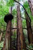 584 Muir Woods.jpg