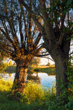 The Knotted Willows