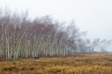 The Bent Birches