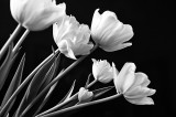 Tulips In B&W