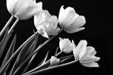 Tulips In B&W