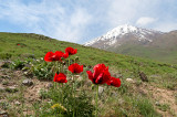 Red Poppies At Mt. Damavand