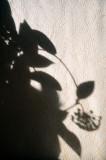 Hoya Blooming