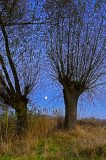Full Moon And The Willows