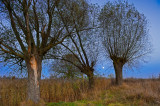 Willows And The Moon