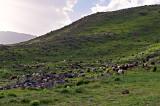 Sheep Near Camp 2