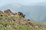 Elephant Of Alborz Mountains