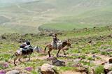 Mules Transport