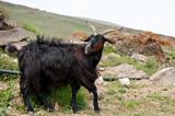 The Black Goat