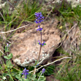 Flora Of Alborz Mountains