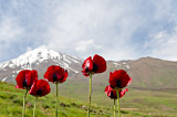 Red Poppies Of Mt. Damavand