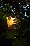 Lantern In Chestnut Tree