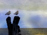 Patient Seagulls